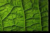 Tablou Canvas Frunza-Textura