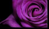 Tablou Canvas Trandafir Violet