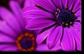 Tablou Canvas Flori Violet