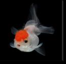 Tablou Canvas White Goldfish
