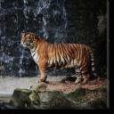 Tablou Canvas Beautiful Tiger