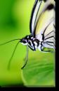 Tablou Canvas Fluture pe Frunza